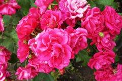 blommar red steg Royaltyfri Bild