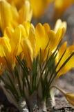 blommar redolent fjädertid Royaltyfri Fotografi