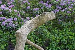 blommar rhododendron Royaltyfri Bild
