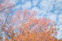 Blommar rosa blommor för Prunuscerasoides färg royaltyfri bild