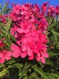 Blommar rosa färger Fotografering för Bildbyråer
