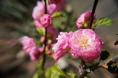 Blommar rosa färger Arkivbild