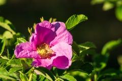 Blommar rosa rosa färger för hund i busken på vår arkivbild