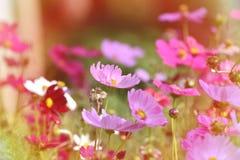 Blommar rosa kosmos för tappningstil att blomma Arkivbild
