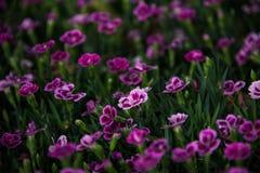 Blommar rosa kyssar för Dianthus i en grön bakgrund Royaltyfria Bilder