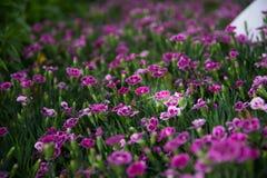 Blommar rosa kyssar för Dianthus i en grön bakgrund Arkivfoton