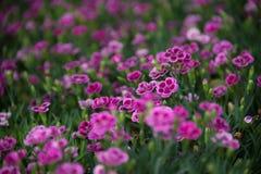 Blommar rosa kyssar för Dianthus i en grön bakgrund Arkivfoto