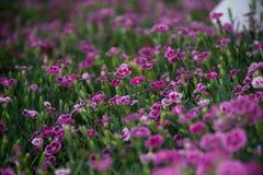 Blommar rosa kyssar för Dianthus i en grön bakgrund Fotografering för Bildbyråer