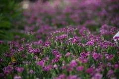Blommar rosa kyssar för Dianthus i en grön bakgrund Arkivbilder