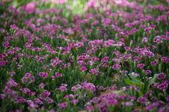 Blommar rosa kyssar för Dianthus i en grön bakgrund Arkivbild