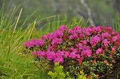 Blommar rosa rhododendron för närbilden på berget Royaltyfria Bilder