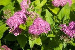 Blommar rosa spirea Arkivfoton