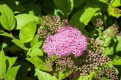 Blommar rosa spirea Arkivfoto