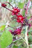 blommar roselle Royaltyfri Bild