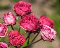 Blommar rosor i trädgården. Arkivfoto