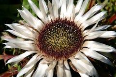 blommar sällan Arkivbilder