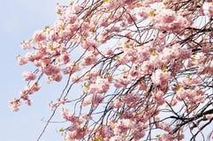 blommar sakura Royaltyfria Foton