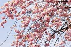 blommar sakura Arkivbilder