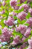 blommar sakura Arkivfoton
