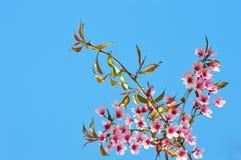 Blommar sakura rosa färger Arkivfoton
