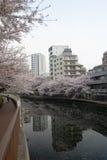 blommar sakura tokyo Royaltyfri Fotografi