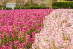 blommar salvia Royaltyfria Bilder