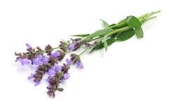 blommar salvia Arkivfoton
