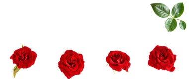 Blommar sammansättning bakgrund vita isolerade röda ro Fre Royaltyfri Bild