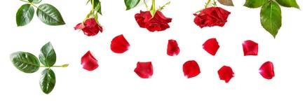 Blommar sammansättning bakgrund vita isolerade röda ro Wid Royaltyfria Foton