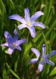 blommar scilla Arkivbilder