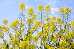blommar senap Arkivbilder