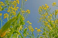 blommar senap Royaltyfri Foto