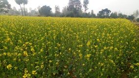 blommar senapsgultt Napa Valley arkivbild