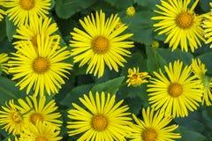 Den blom- blomman för Asterastersyallow fjädrar växtnaturen Royaltyfria Bilder