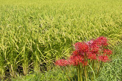 Blommar sidan av risfältet royaltyfria bilder