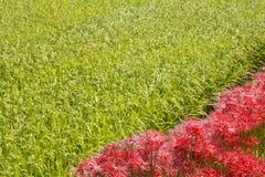 Blommar sidan av risfältet royaltyfria foton