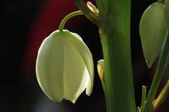 blommar sisalskyen Royaltyfri Foto