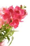 blommar snapdragonsommar Arkivbilder