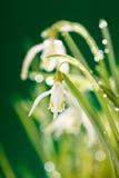 blommar snowdrop arkivbilder