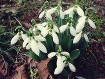 blommar snowdrop royaltyfri fotografi