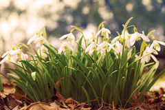 blommar snowdrop Fotografering för Bildbyråer