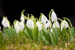 blommar snowdropfjädern Royaltyfri Bild