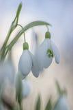 blommar snowdropfjädern Royaltyfri Fotografi