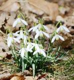 blommar snowdrops Royaltyfri Bild