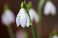 blommar snowdrops Fotografering för Bildbyråer