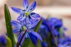 blommar snowdropsfjädern Royaltyfri Bild
