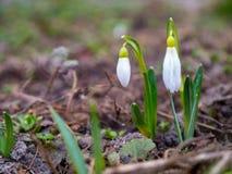 blommar snowdropsfjädern Beautifully blomma i gräset på s royaltyfria bilder