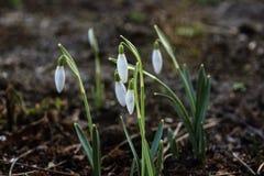 blommar snowdropsfjädern Den delikata snödroppeblomman är ett av vårsymbolerna royaltyfria bilder