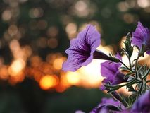blommar solnedgång Royaltyfri Foto