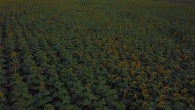 blommar solrosen stock video